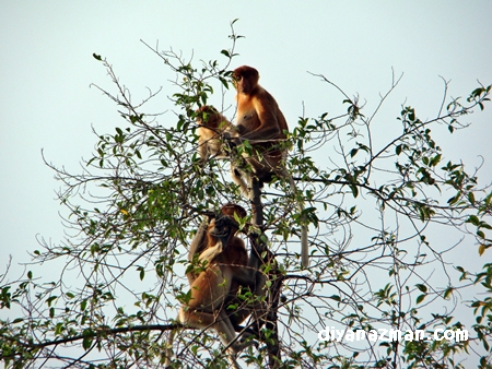 monkeys of borneo